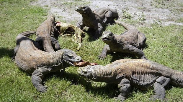 A group of Komodo dragons feast on a fresh goat carcass inside the Surabaya Zoo enclosure for the giant lizards during feeding time on March 20, 2013.  Meanwhile seven Komodo dragons have hatched on March 10, 2013 under a breeding programme in Surabaya zoo an official said, a success story that raises hope for the endangered lizard. AFP PHOTO / JUNI KRISWANTO (Photo by JUNI KRISWANTO / AFP)