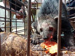 Dikira Beruang, Binturong di Sumbar Dievakuasi Usai Masuk Kebun Warga