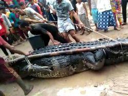 Buaya Raksasa 5 Meter di Babel Beratnya 700 Kg, Ditangkap Pakai Umpan Bebek
