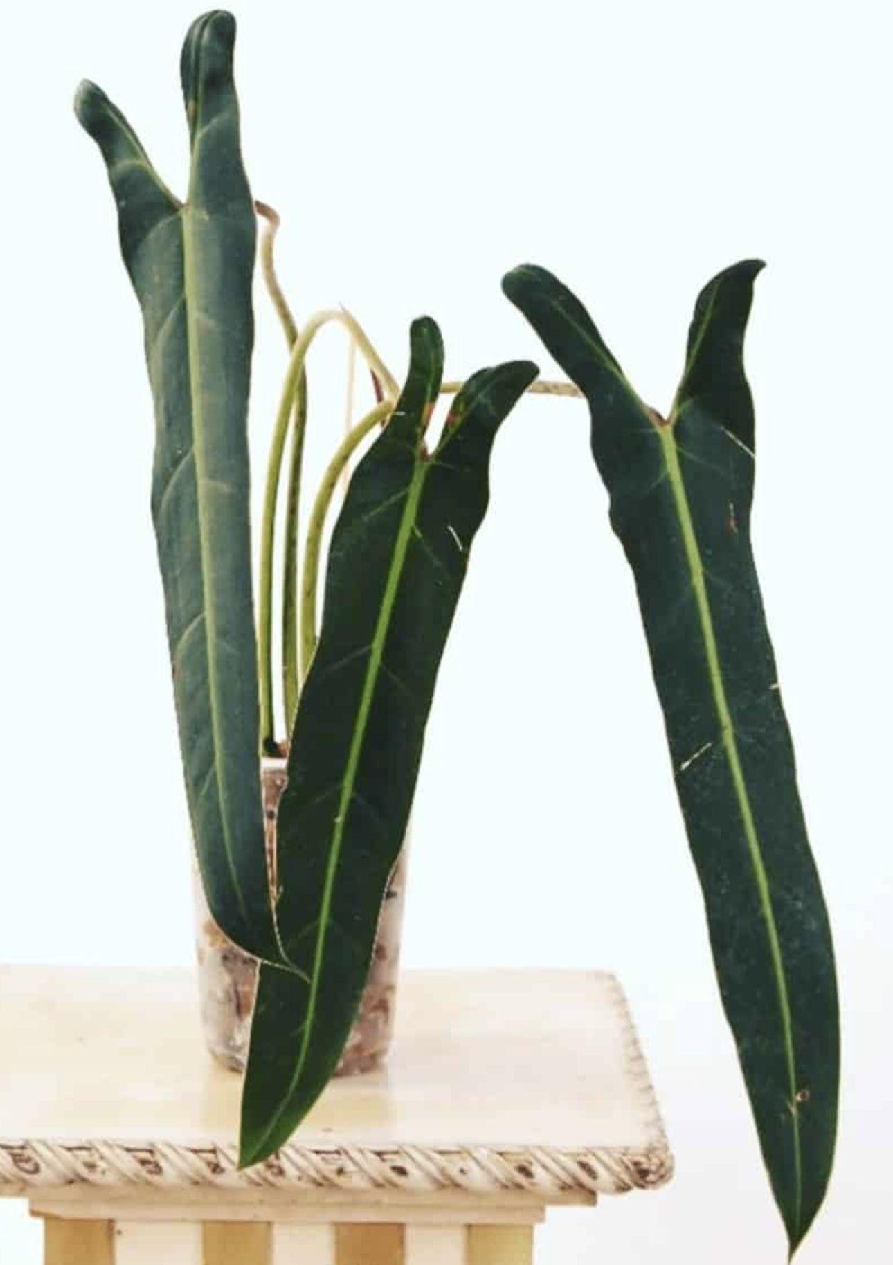 Philodendron Spiritus sancti