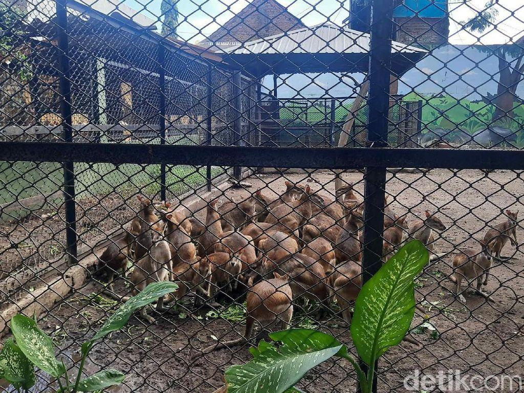 Kebun Binatang Surabaya Fokus Perawatan Satwa Pas PPKM