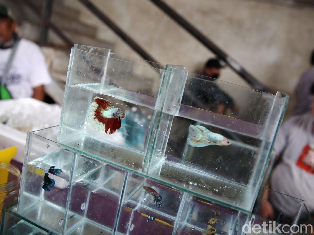Bisnis Ikan Cupang Ngehits di 2020, Bagaimana Peluangnya Tahun Ini?