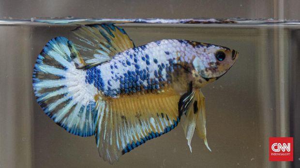Cara Merawat Ikan Cupang Yang Benar