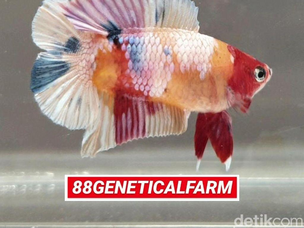 Percaya Nggak, Bisnis Ikan Cupang Bisa Cuan Sampai Rp 300 Juta/Bulan!