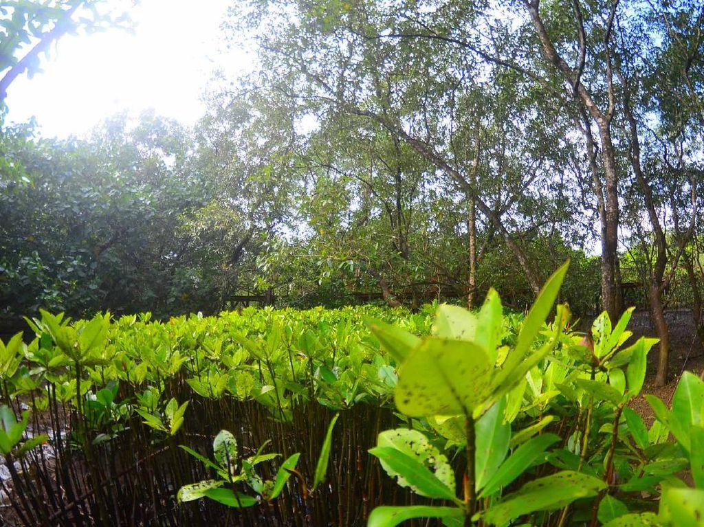 Lahan Kritis di Wilayah Pesisir Kalsel Ditanami 10 Ribu Mangrove