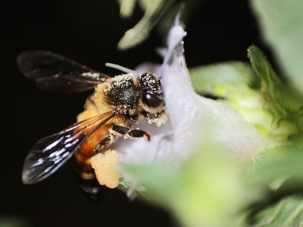 Madu Hutan Apis Dorsata, Madu Lebah Raksasa dari Indonesia