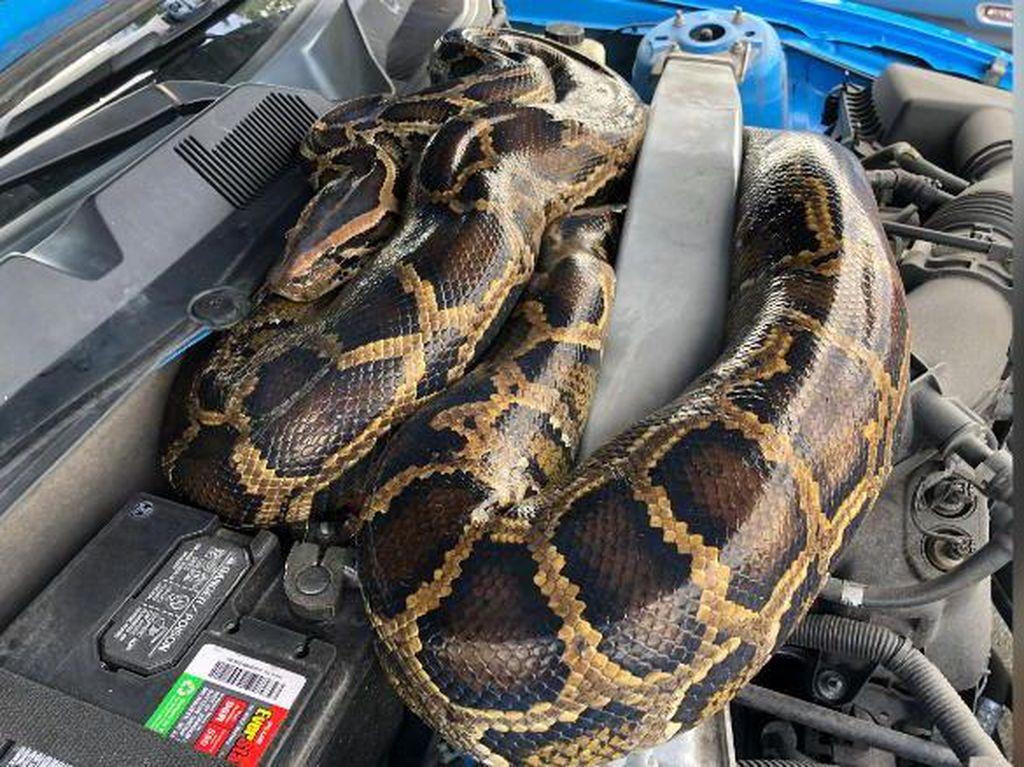 Hiiii.... Ular Piton Ditemukan Ngumpet di Balik Kap Mobil