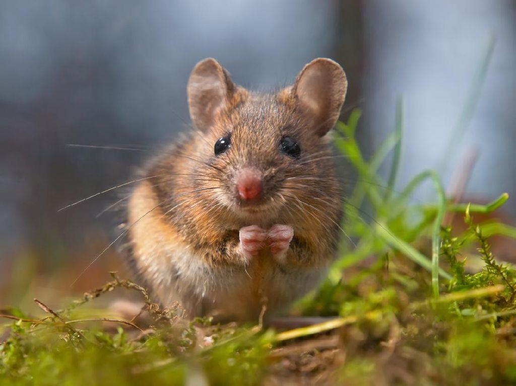 Lockdown Bakal Membuat London Jadi Kota Tikus
