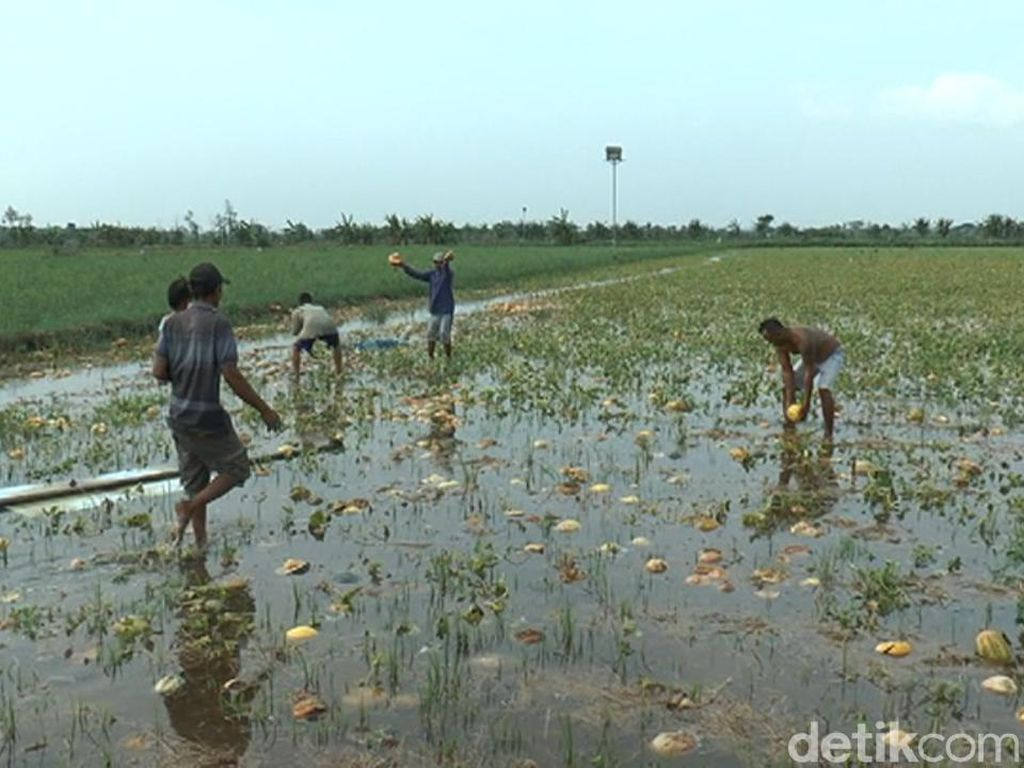 Sawah Terendam Banjir, Petani Semangka dan Melon di Lamongan Gigit Jari