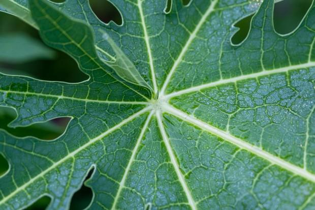 daun pepaya dapat membasmi hama seperti rayap, ulat dan aphids/freepik.com