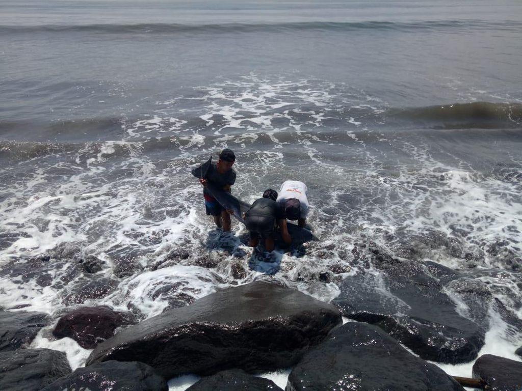 Lumba-lumba Terdampar di Pantai Bali, Sempat Dievakuasi namun Mati