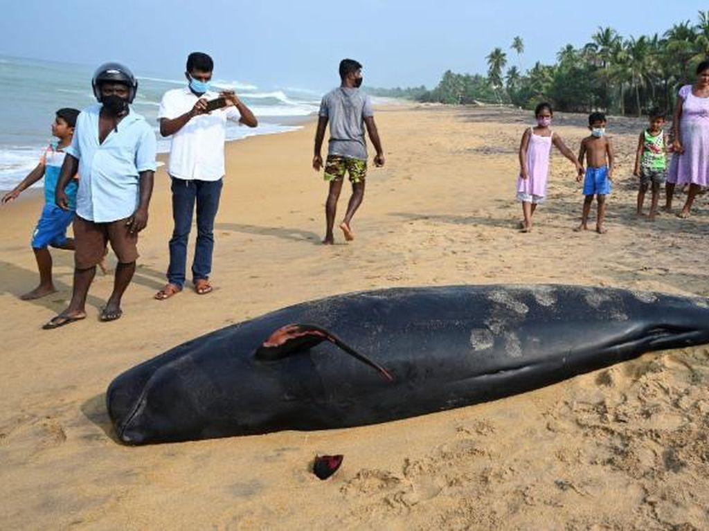 Warga Sri Lanka Selamatkan 100 Paus yang Terdampar di Pantai