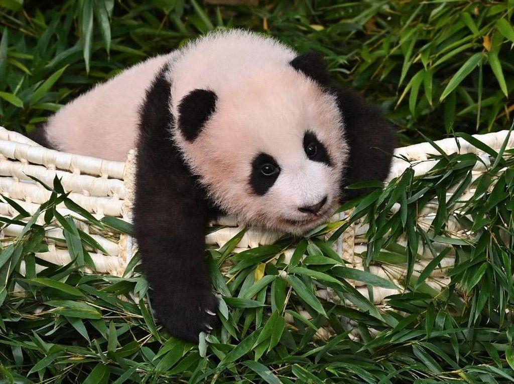 Petik Pelajaran dari Blackpink, Jangan Sembarangan Sentuh Panda