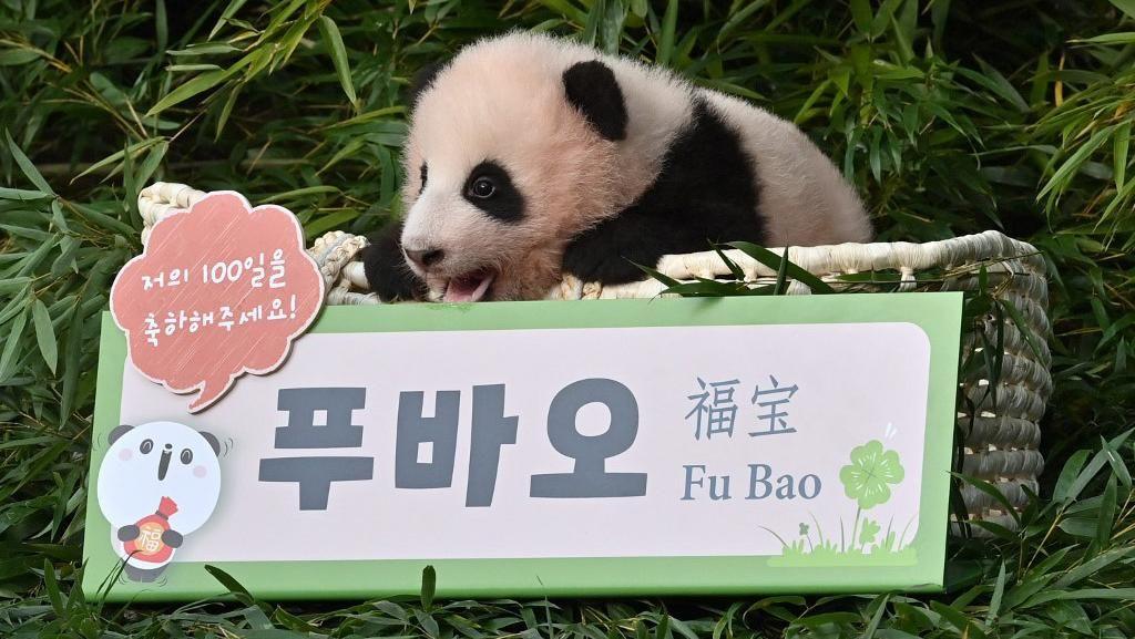 Lucunya Bayi Panda Pertama di Korsel