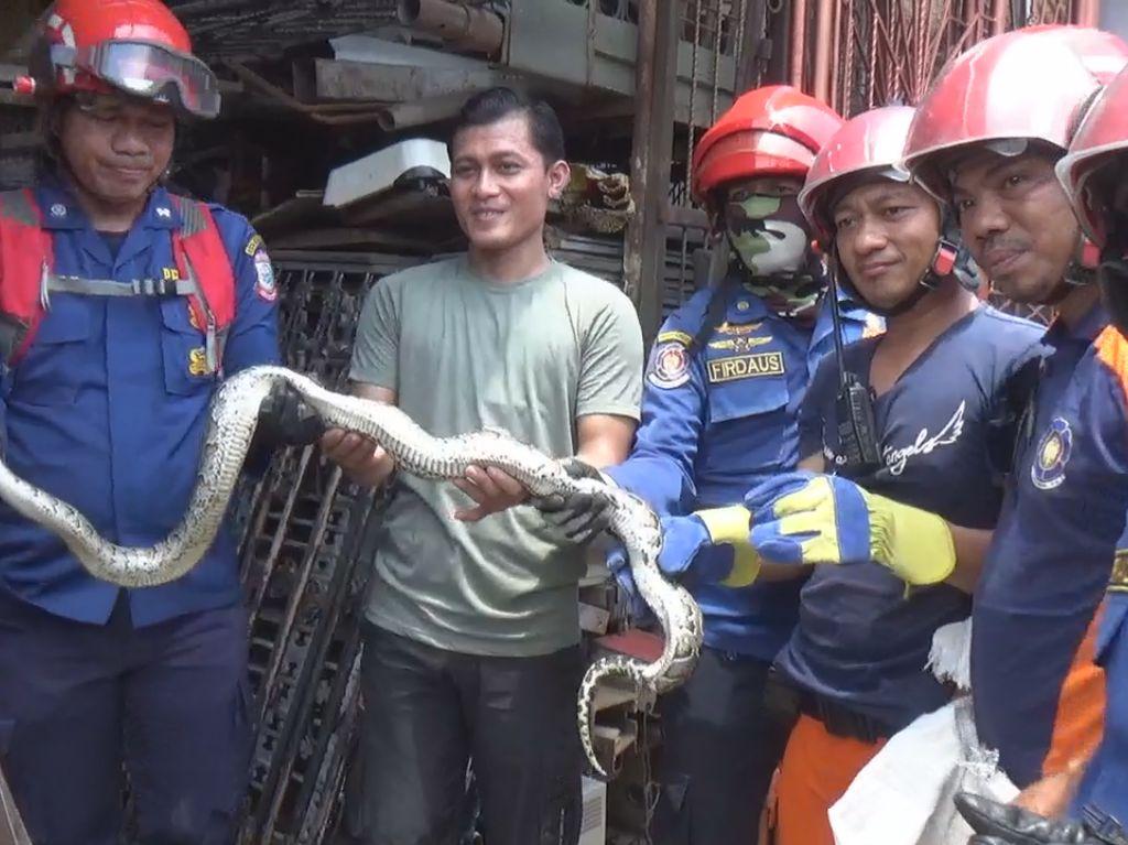 Petugas Damkar Evakuasi Ular Sanca yang Masuk ke Rumah Warga di Makassar
