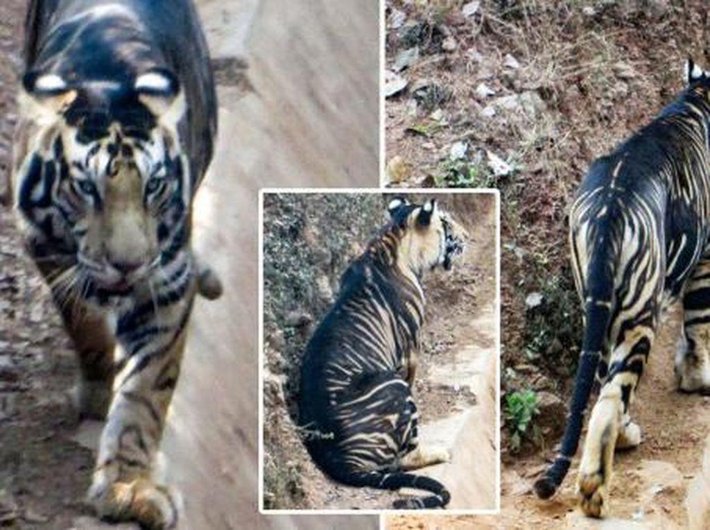Harimau Hitam yang Disangka Punah Justru Muncul Lagi di India