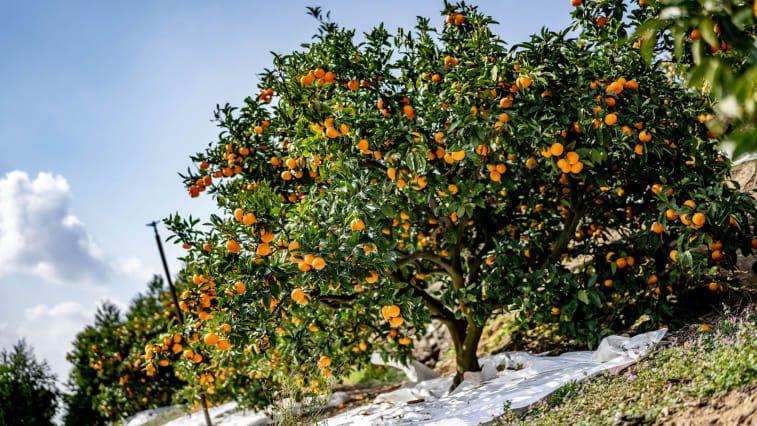 Nishiuwa adalah salah satu daerah penghasil mikan (jeruk mandarin) di Ehime. Spesies jeruk mandarin tanpa biji ini dikenal karena keseimbangan rasa yang kaya dan manis. Biasanya kulit buah ini tipis dan mudah dikupas, teksturnya pun melelh di mulut.