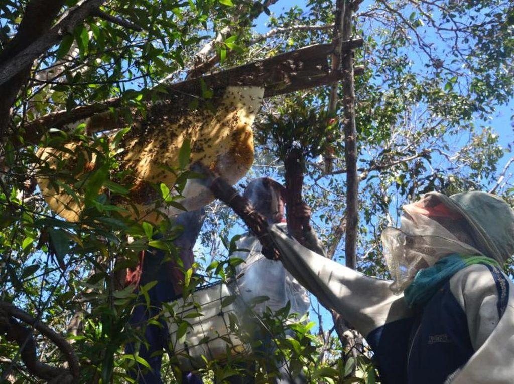 Perjalanan Madu Manuka Indonesia, dari Hutan ke Meja Makan