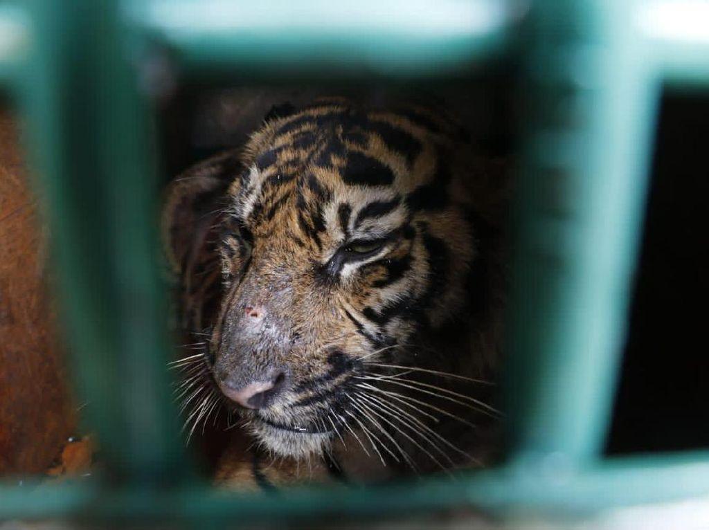 Dievakuasi Usai Terkena Jerat, Harimau di Aceh Dilepas ke Hutan Lindung