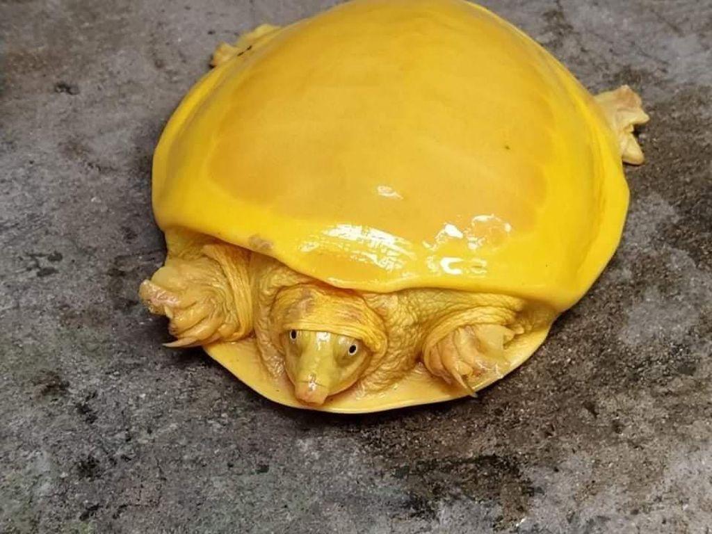 Heboh Kura-kura Berwarna Kuning
