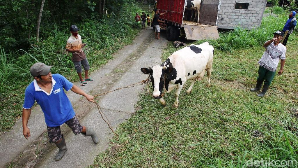 Warga dan Hewan Peliharaan di Lereng Merapi Dievakuasi