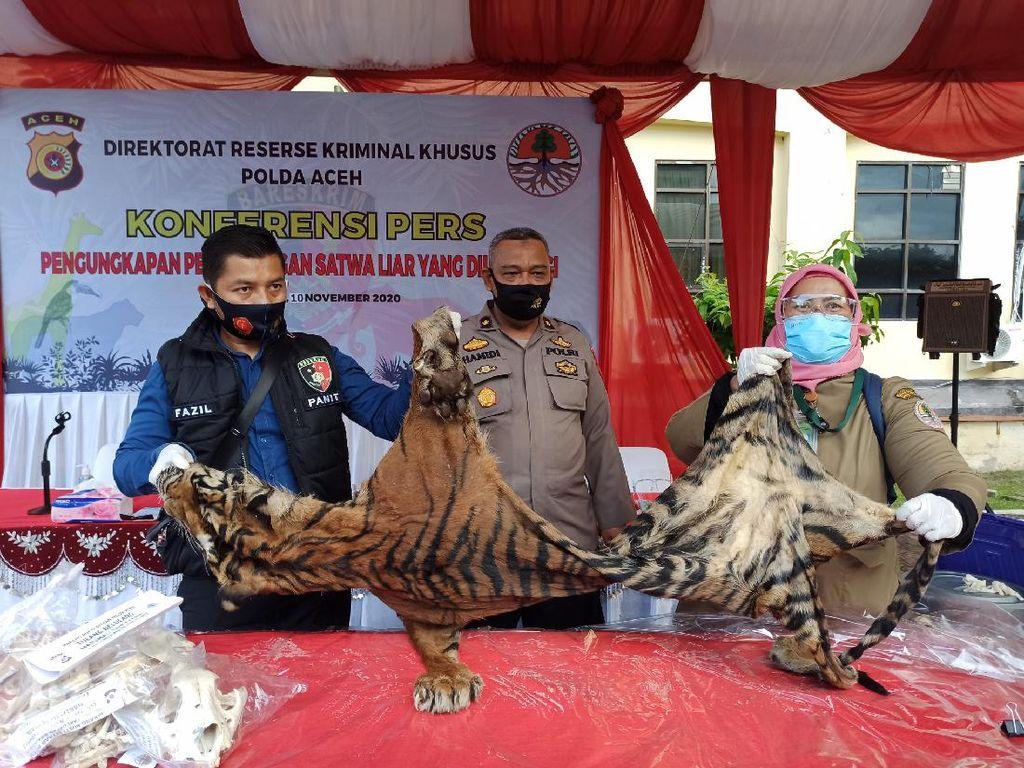 Simpan Organ Harimau-Sisik Trenggiling Rp 6,3 Miliar, Pria Aceh Ditangkap