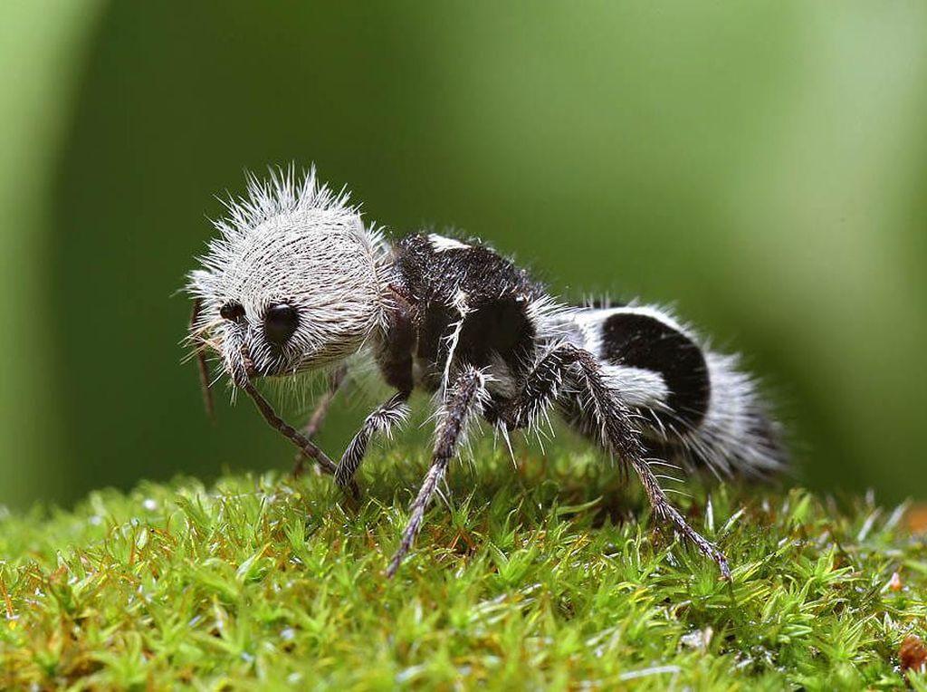 Ini Tawon tapi Namanya Semut Panda, Bisa Membunuh Sapi!
