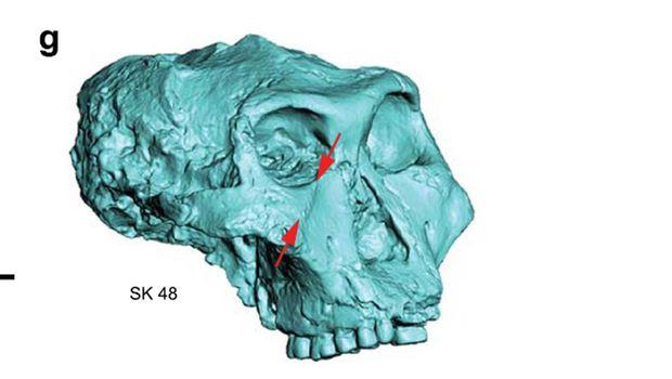 Fosil Paranthropus robustus, 'sepupu' Manusia Ditemukan di Afsel