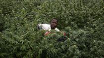 Potret Petani Ganja untuk Obat di Uganda