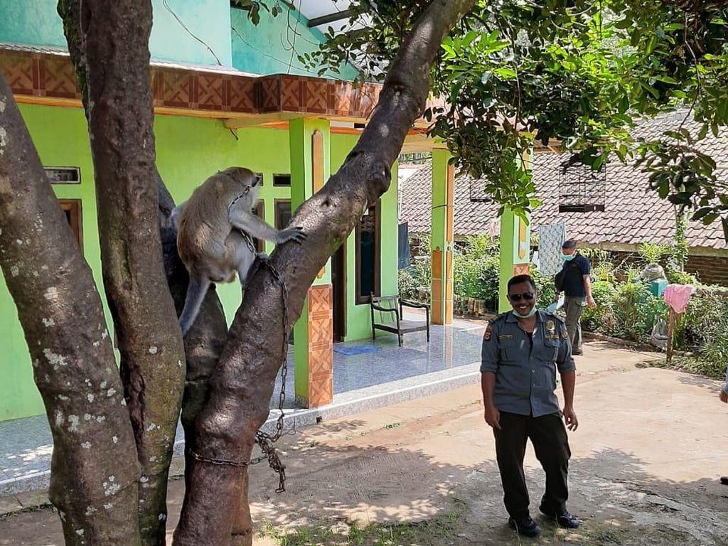 Monyet Liar Serang dan Lukai Empat Warga di Pandeglang
