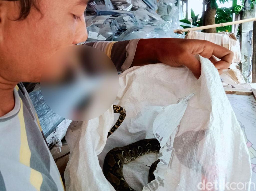 Hiii! Ular Piton Ditangkap Warga Klaten di Dekat Kandang Ternak