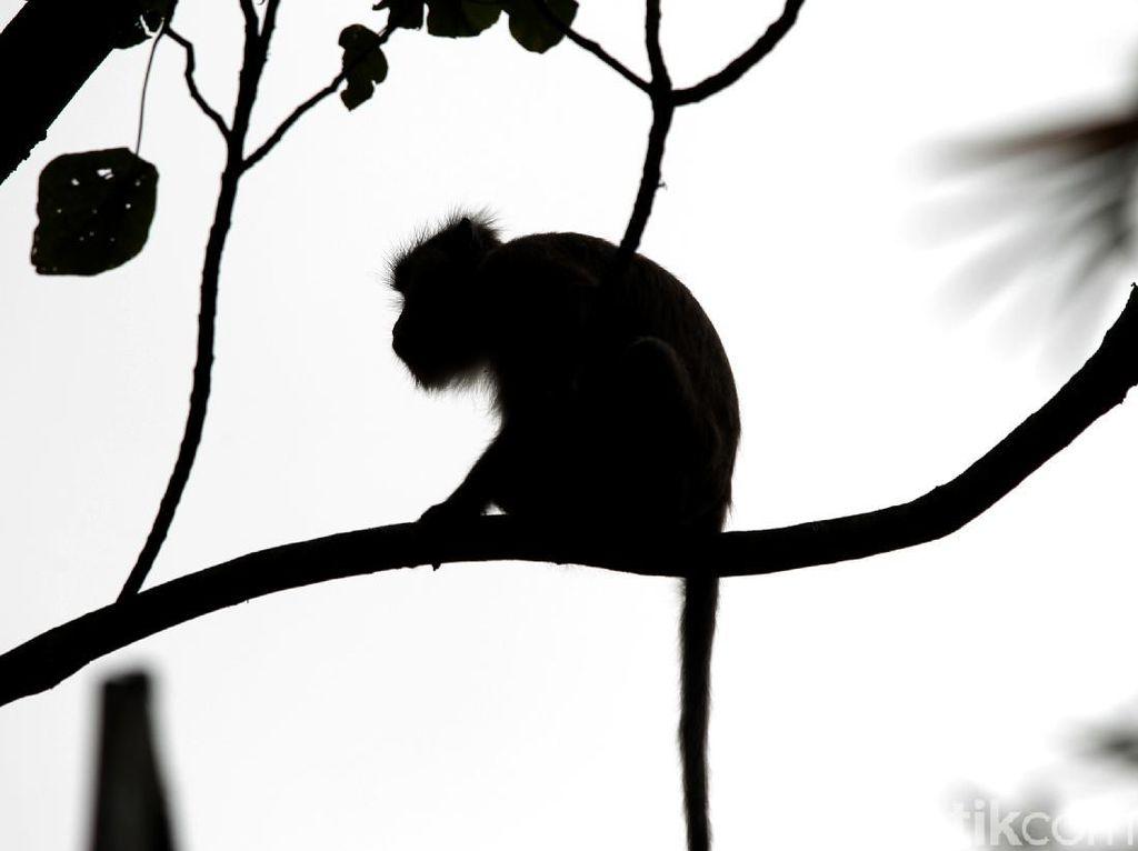 Cacar Monyet Gemparkan AS, Ini Bedanya dengan Virus Monkey B di China
