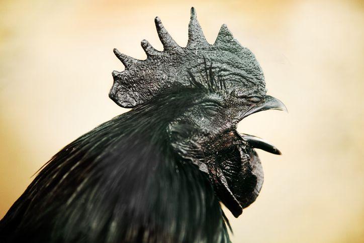 5 Fakta Ayam Cemani yang Sering Dikaitkan dengan Hal Mistis
