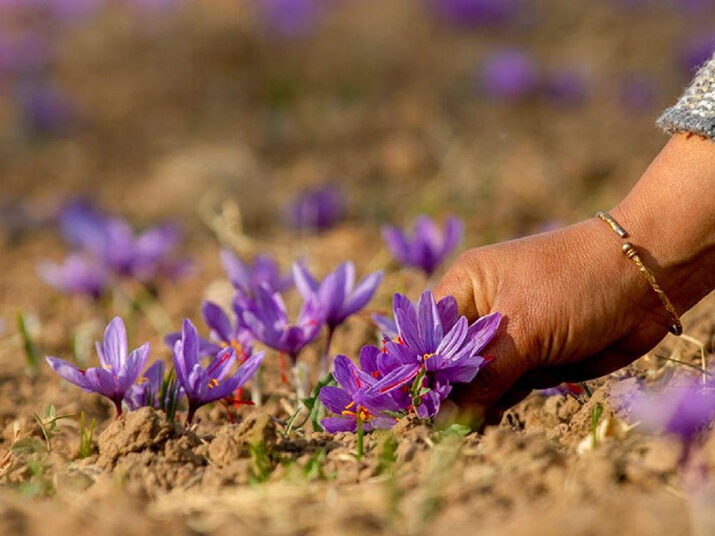 Saffron, Putik Bunga yang Jadi Rempah Berharga