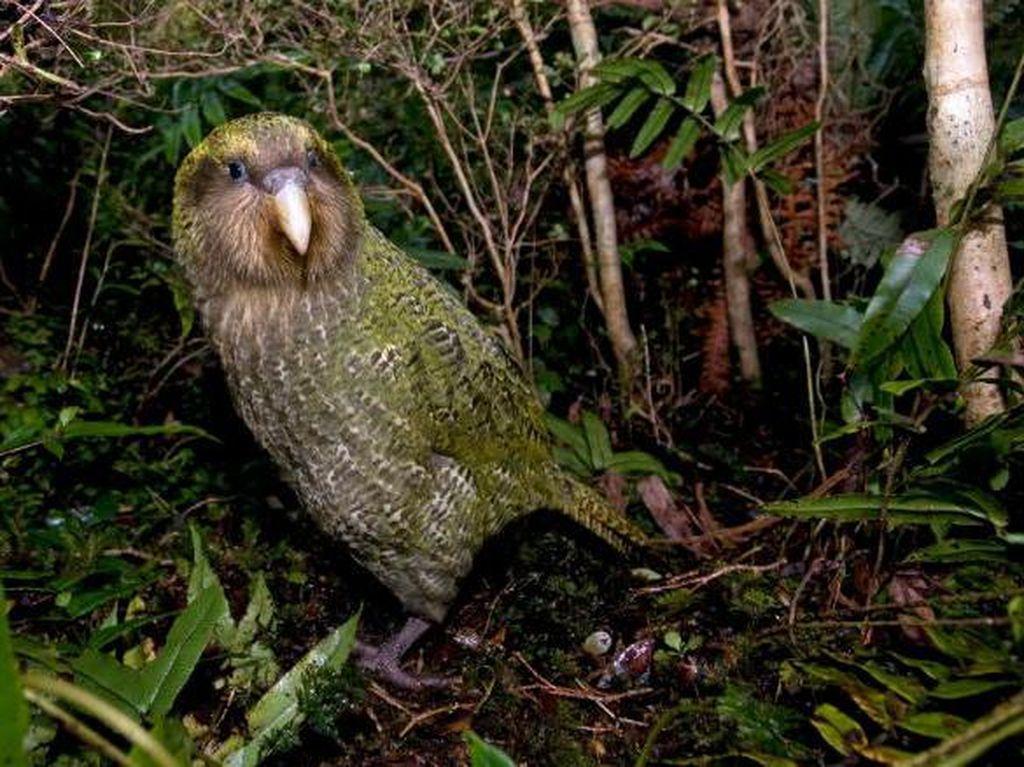 Burung Beo Gemuk dan Tak Bisa Terbang Ini Menangi Kontes Bird of the Year