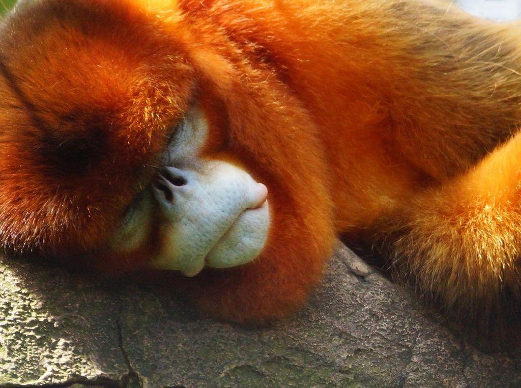 Primata Paling Langka Dunia yang Suka Bersin