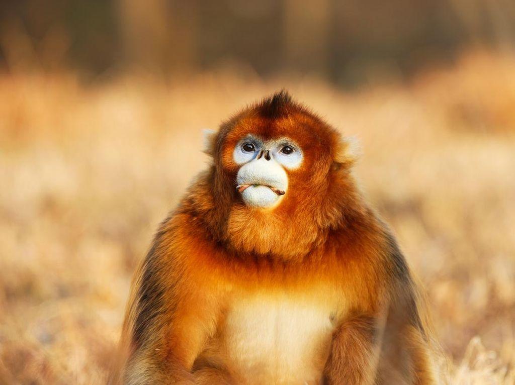 Ini Monyet Paling Pesek Dunia, Kalau Hujan Pasti Bersin