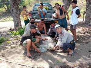 Kapolsubsektor Soromandi Selamatkan Penyu Seberat 500 Kg di Desa Sai