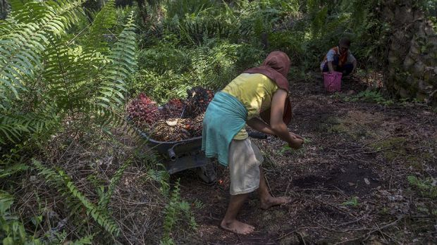 A woman helps load palm oil fruit into a wheelbarrow, navigating barefoot through the rough jungle floor in Sumatra, Indonesia, Wednesday, Feb. 21, 2018. Women are often