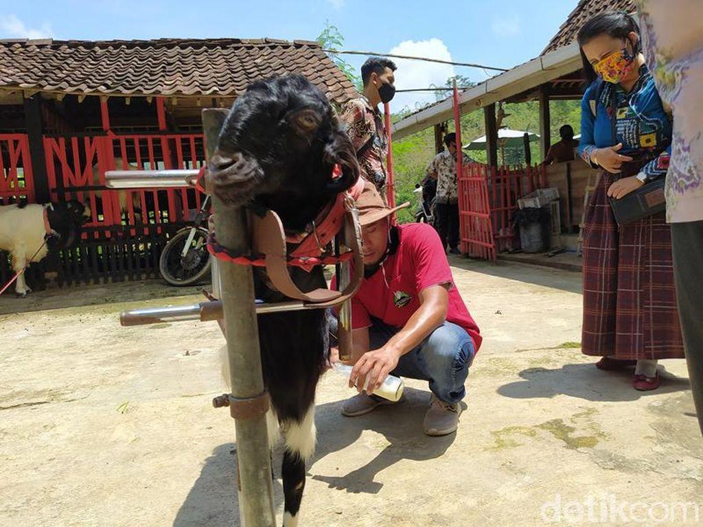 Foto: Wisata Edukasi Kambing Etawa Ada Juga di Magelang