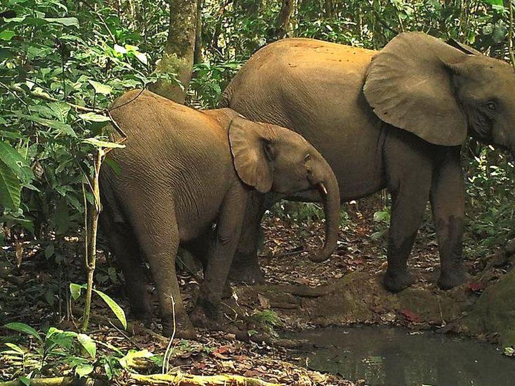 Teknologi Deteksi Suara Tembakan Bisa Selamatkan Spesies Terancam