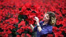 Cantiknya Kastuba, Si Bunga Natal yang Mempesona