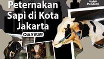 Ternak Sapi di Tengah Padatnya Pemukiman Ibu Kota Jakarta