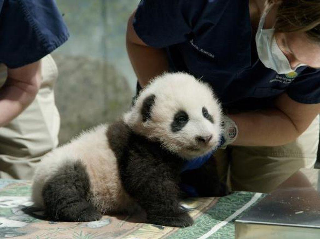 Washington Kedatangan Bayi Panda, Diberi Nama Keajaiban Kecil