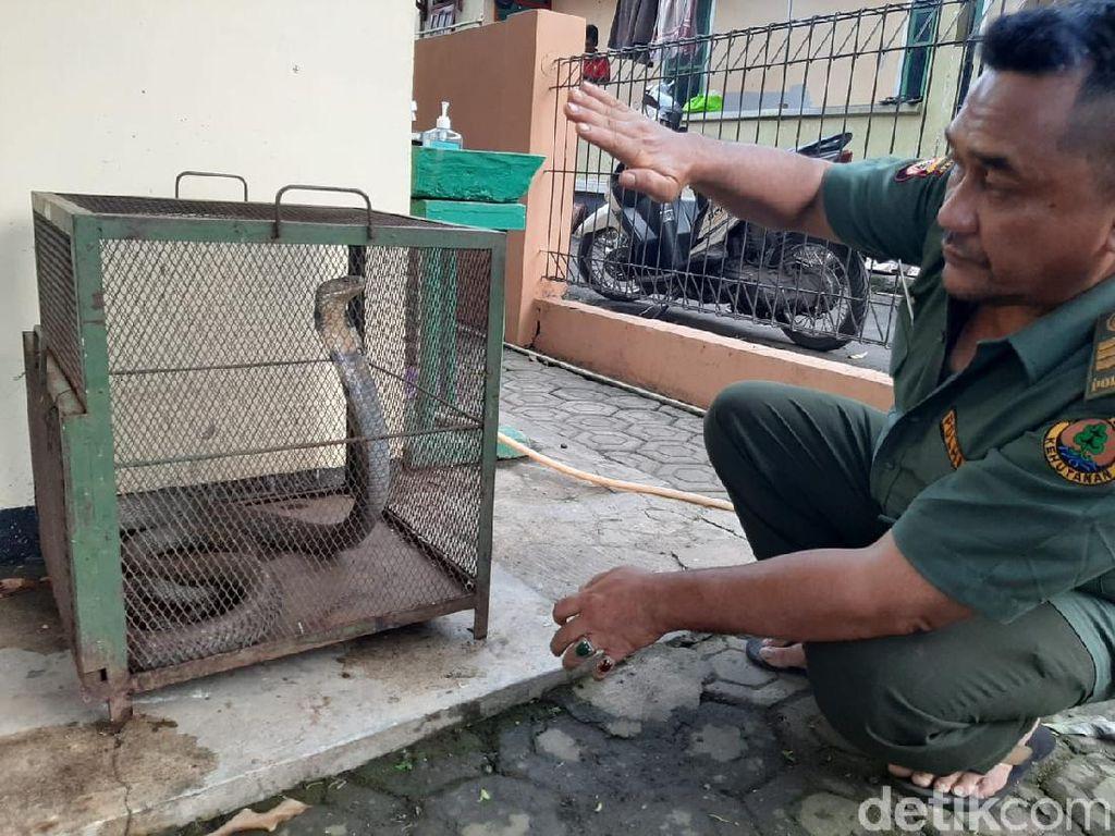 Ngeri! King Kobra Nangkring di Plafon Rumah Warga Serang
