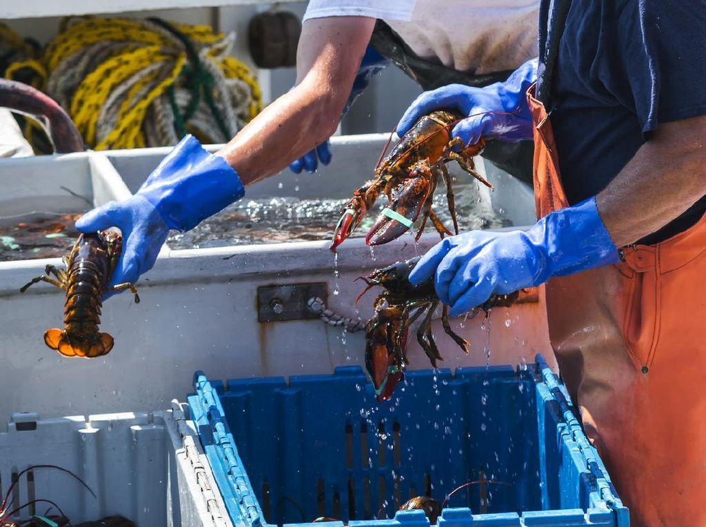 Kontroversi Ekspor Benih Lobster: Sinyal Jalan Terus Meski Banyak Kritik