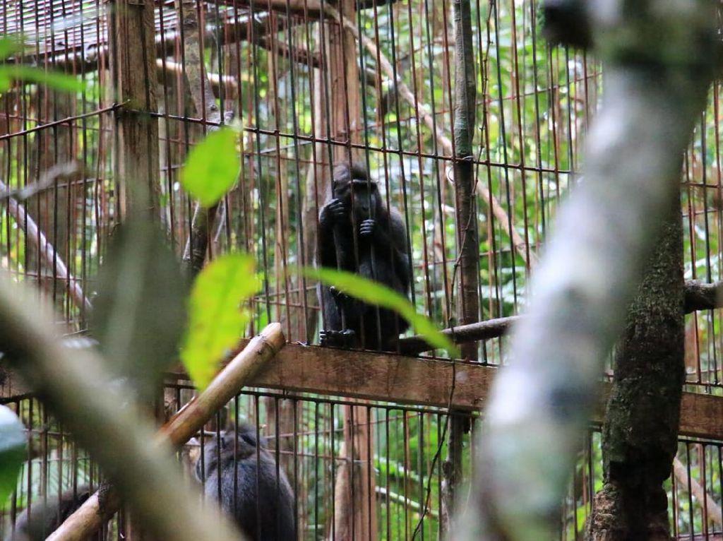 Pertamina Lepasliarkan 13 Monyet Hitam Sulawesi ke Gunung Ambang