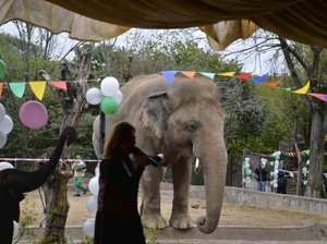 Menderita di Pakistan, Gajah Ini Akan Diangkut ke Kamboja