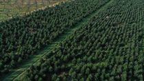Geliat Perkebunan Pohon Natal di Jerman