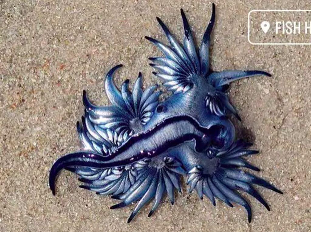 Hewan Naga Biru, Pembunuh Tercantik di Lautan